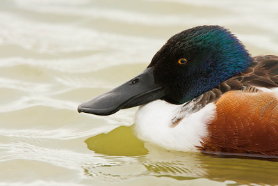 Northern Shoveler Portrait