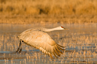 Sandhill Crane taking flight from frozen pond. Notice the ring of ice around the right leg!