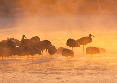 Sandhill Cranes in icy fog at sunrise.