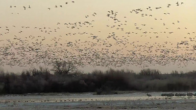 """A Snow Geese blastoff before dawn from the """"flight deck""""."""