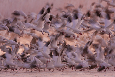 Snow Geese blastoff before dawn - Bosque del Apache NWR