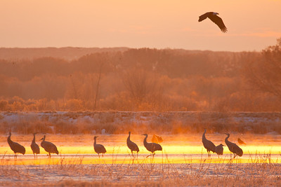 Sandhill Cranes in the icy fog at sunrise, being overflown by a bald eagle.