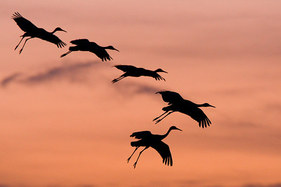 Sandhill cranes landing after sunset.