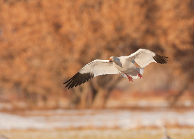 Snow Goose landing in nice light.