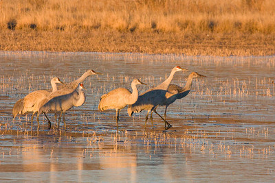 Sandhill cranes readying for takeoff from frozen pond.