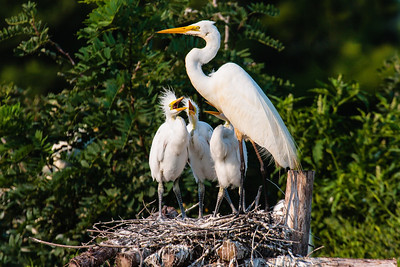A Great Egret with Her Chicks