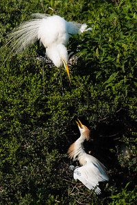 A Great Egret and Cattle Egret in a Territorial Squabble