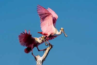 A Pair of Roseatte Spoonbills Vying for the Top Spot on the Tree