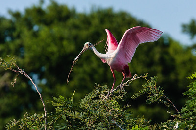 A Roseatte Spoonbill Gathering Nesting Sticks