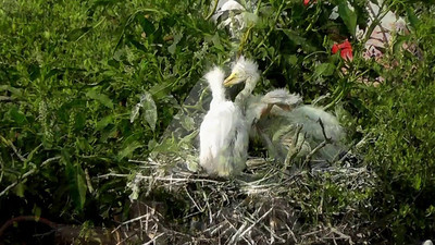 Great Egret Chicks Acting Up in the Nest!