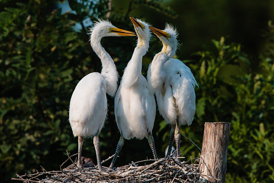 Triplet Great Egret Chicks Close to Fledging