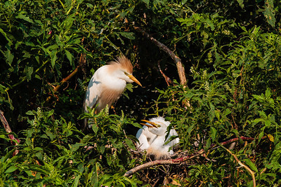 A Mating Pair of Cattle Egrets