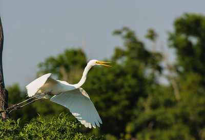 Great Egret in Nest with Chicks