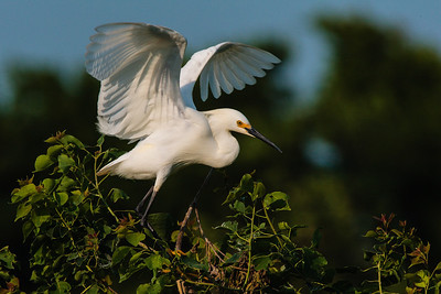 A Snowy Egret Taking Flight
