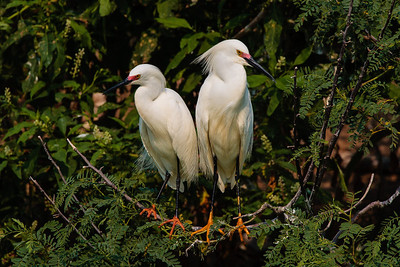 A Pair of Snowy Egrets in Breeding Colors