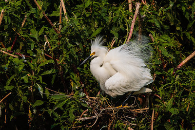 A Snowing Egret Showing Nuptial Plumage