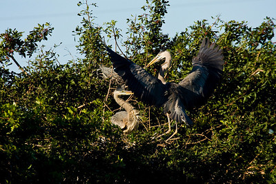 Great Blue Heron Pair - Stick Presentation at Venice Rookery