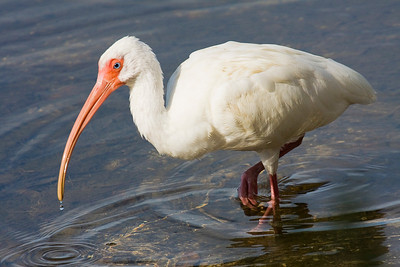 White Ibis Stalking at Corkscrew Swamp