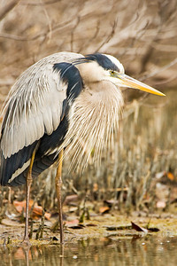 Great Blue Heron Concentration at Estero Lagoon in Fort Myers