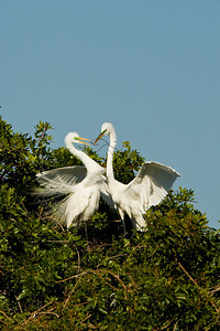Great Egret Pair - Stick Presentation at Venice Rookery