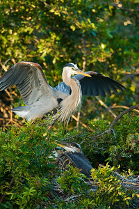 Great Blue Heron with Juveniles at Venice Rookery
