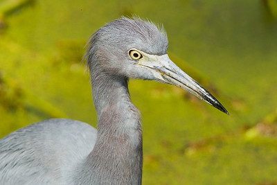 Little Blue Heron Portrait at Corkscrew Swamp