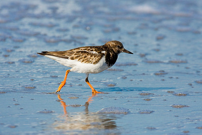 Ruddy Turnstone Chasing Food at the beach near Fort Myers