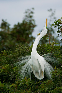 Great Egret Displaying in Breeding Plumage at Venice Rookery