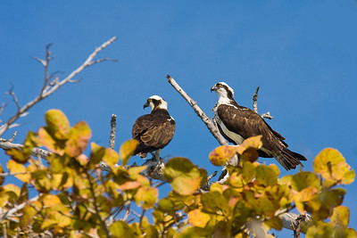 Osprey Pair near Fort Myers