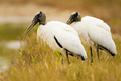 Wood Stork Pair at Estero Lagoon in Fort Myers