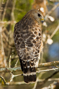Red-shouldered Hawk at Corkscrew