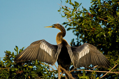 Anhinga Drying Wings at  Venice Rookery