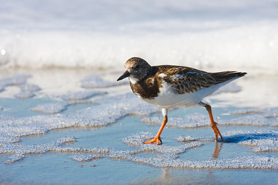 Ruddy Turnstone at Edge of Surf at the beach near Fort Myers