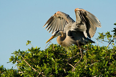Great Blue Heron Guarding Nest at Venice Rookery