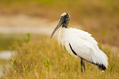 Wood Stork Striking a Pose at Estero Lagoon in Fort Myers