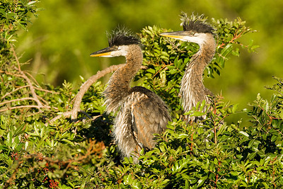 Juvenile Great Blue Herons at Venice Rookery