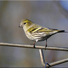 Siskin (Carduelis spinus) [female], St Albans Watercress Wildlife Association LNR, Hertfordshire, 11/01/2012
