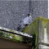 Peregrine (Falco peregrinus), Hemel Hempstead BT building, Hertfordshire, 4/11/2011