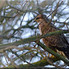 Buzzard (Buteo buteo), Nr Hemel Hempstead, Hertfordshire, 21/02/2012. There is often a Buzzard perched along the road between Hemel and Redbourn (B487). This time, I managed to park the car opposite its perch and grab 3 frames before it flew. I used the 'dodge' tool in PS to de-emphasize the busy surrounding.
