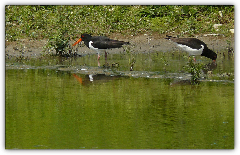 Oystercatchers (Haematopus ostralegus) [pair], College Lake, Near Tring, Hertfordshire, 27/06/2010