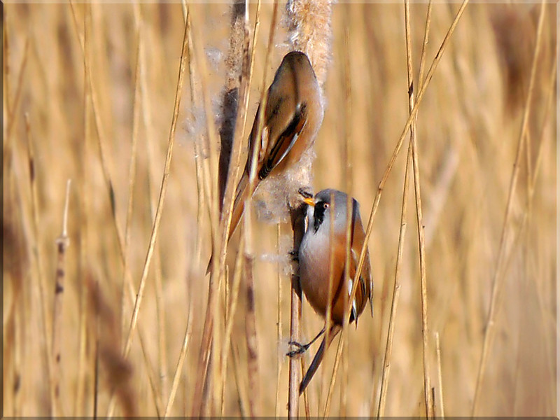 Bearded Tit/Reedling (Panurus biarmicus) [pair], Rainham Marsh RSPB, Essex, 15/01/2012. My first sighting of this species and a really magical moment (1 of 2).