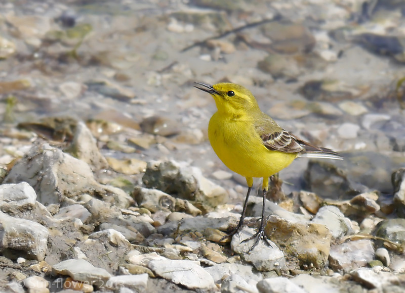Yellow Wagtail (Motacilla flava), Startop's End Reservoir, Nr Tring, Hertfordshire 25/05/2013. This was one of those unexpected encounters with a bird that was uncharacteristically cooperative! Walking along the SW shoreline, this migrant just dropped in some way in front of me. I was very surprised when it allowed me to come within photographic range and continued to feed and call whilst I observed. Little did I know that the joy of the Yellow Wagtail encounter would be increased with my first sighting of a dazzling European Roller later that afternoon, in Hampshire!