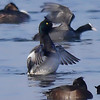Scaup (Aythya marila) [male], Hilfield Park reservoir, Hertfordshire, 11/02/2012. The adult male for comparison with the previous shot of the immature bird.