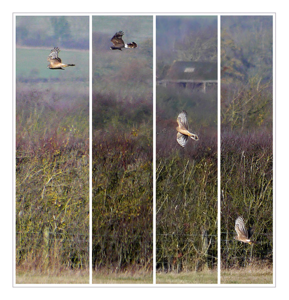 Hen Harrier (Circus cyaneus) [female or juvenile]. Distant record shots (100% crops) at Gallows Bridge Nature Reserve, Buckinghamshire, 7/12/2011. My first sighting of this species. Glad to have caught the distinctive white rump but it's another sequence I hope to update with better shots in the future.