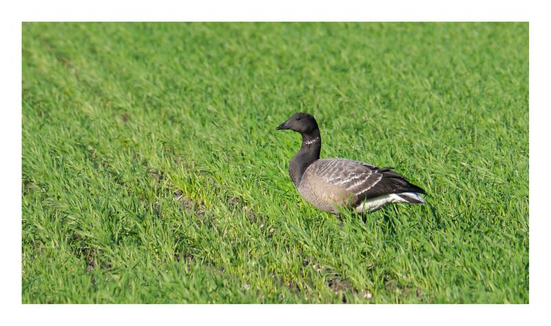 Dark Bellied Brent Goose (Branta bernicla) [juvenile], Wilstone Reservoir, Hertfordshire, 13/11/2011.