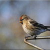 Lesser Redpoll (Carduelis cabaret), St Albans Watercress Wildlife Association LNR, Hertfordshire, 11/01/2012