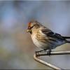 Lesser Redpoll (Carduelis cabaret), St Albans Watercress Wildlife Association LNR, Hertfordshire, 11/01/2012