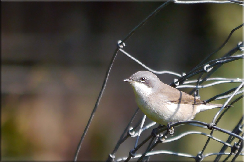 Lesser Whitethroat (Sylvia curruca), Rowsham, Buckinghamshire, 19/08/2011. A close crop to show the distinctive look of this species.