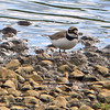 Little Ringed Plover (Charadrius dubius), Brandon Marsh, Warwickshire, 27/05/2011. Record shot.