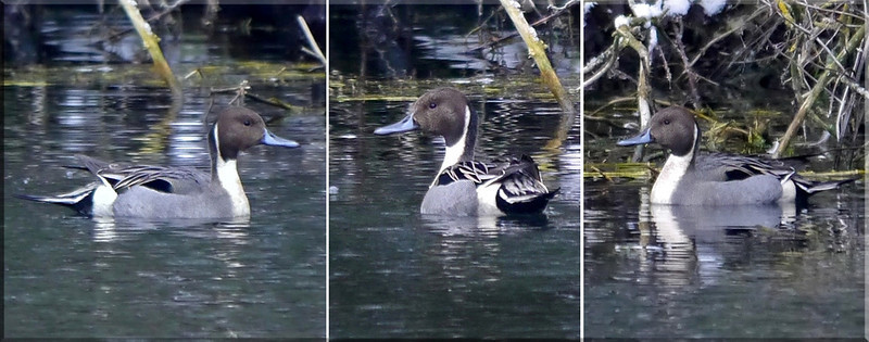 Pintail (Anas acuta) [male], Water End, Nr Hemel Hempstead, Hertfordshire, 10/02/2012. Very poor lighting but the only shots I have of this species.